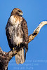 Hawk - Copyright 2017 Steve Leimberg - UnSeenImages Com _Z2A4098