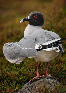 Swallow-tailed Gull Copyright 2020 Steve Leimberg UnSeenImages Com _DSC6541-1