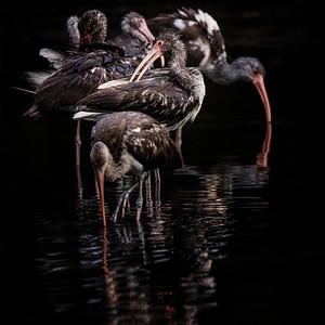 Ibis Preening in Golden Pond Copyright 2021 Steve Leimberg UnSeenImages Com _DSC7745 copy