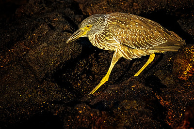 Lava Heron Copyright 2020 Steve Leimberg UnSeenImages Com _DSC0898-1