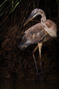 Glowing Heron in the Darkness Copyright 2020 Steve Leimberg UnSeenImages Com _L8I6777-2