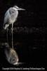 Heron in Darkness - Copyright 2014 Steve Leimberg - UnSeenImages Com _M1A3734