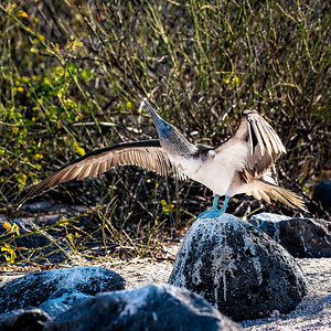 Blue Footed Boobie on the Wing Copyright 2020 Steve Leimberg UnSeenImages Com _DSC6066