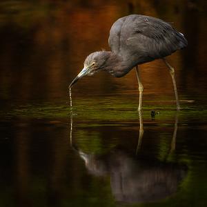 Night Heron Copyright 2021 Steve Leimberg UnSeenImages Com _DSC4244 copy