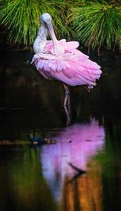 Roseate Spoonbill Golden Pond Copyright 2021 Steve Leimberg UnSeenImages Com _DSC3259