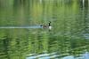 Canada Geese - Vasona Park (23) D
