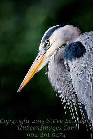 Heron Profile - Copyright 2017 Steve Leimberg - UnSeenImages Com _Z2A5371