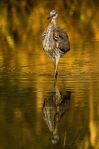 Heron Copyright 2020 Steve Leimberg UnSeenImages Com  BL8I6055