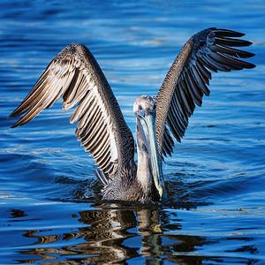 Pelican Wings Out  Copyright 2021 Steve Leimberg UnSeenImages Com _DSC0070 copy