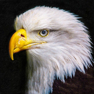 Eagle Profile Painting Copyright 2021 Steve Leimberg UnSeenImages Com_Z2A6095 copy