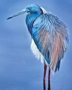 Blue Heron Copyright 2020 Steve Leimberg UnSeenImages Com