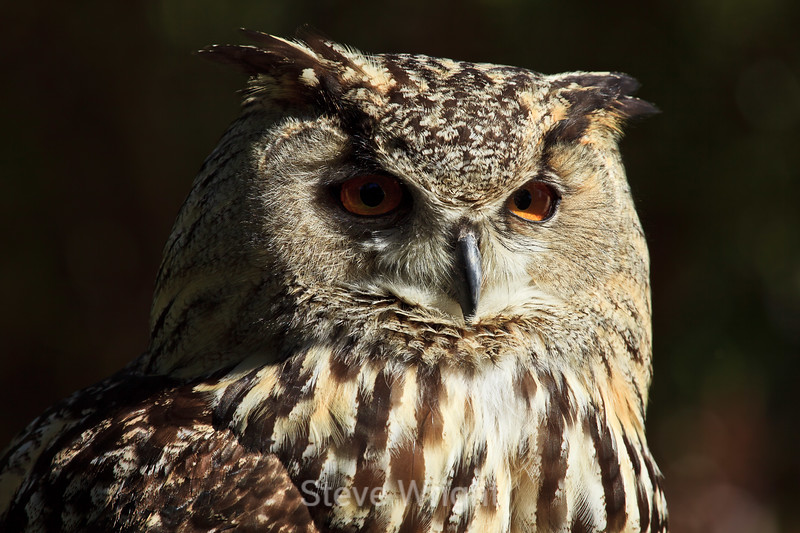 Eurasian Eagle Owl - SF Zoo (5060)