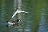 Snowy Egret - Vasona Park (4) D