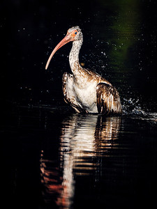 Ibis at Golden Pond Copyright 2021 Steve Leimberg UnSeenImages Com _DSC0994