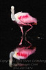 Red Red Red Roseate Spoonbill - PAINTING - Copyright 2016 Steve Leimberg - UnSeenImages Com _Z2A5667
