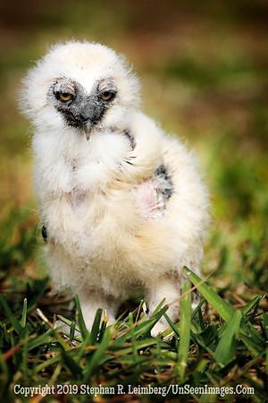 Eagle Owl Chick - Copyright 2018 Steve Leimberg UnSeenImages Com _Z2A2294