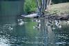 Canada Geese - Vasona Park (12) D