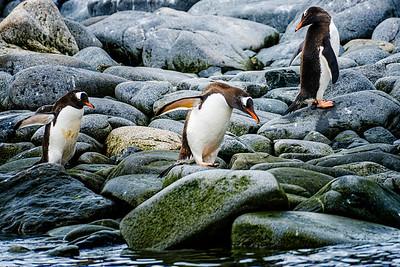 Penguins Copyright 2020 Steve Leimberg UnSeenImages Com _DSF5723