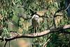 Black-Crowned Night Heron - Vasona (1) D