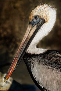 Pelican Profile  Copyright 2021 Steve Leimberg UnSeenImages Com _DSC6129 copy