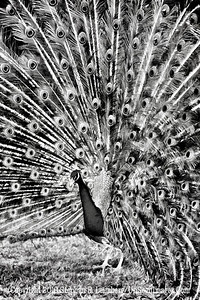 Peacock B&W - Copyright 2018 Steve Leimberg UnSeenImages Com _Z2A3313