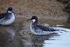 Red-necked Phalerope #7025