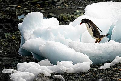 Leaping Penguin  Copyright 2020 Steve Leimberg UnSeenImages Com _DSC2331