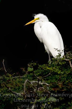 White White Egret Juvenile  Copyright 2017 Steve Leimberg UnSeenImages Com _L8I8491