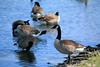 Canada Geese - Vasona Park (30) D