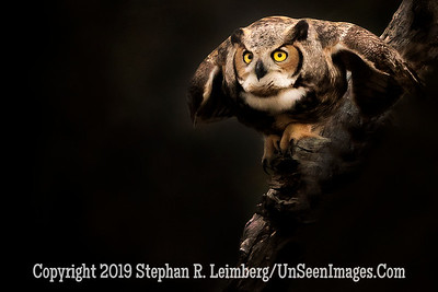 Great Horned Owl About to Fly 2 _H1R9998