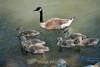 Canada Geese - Vasona Park (53) D