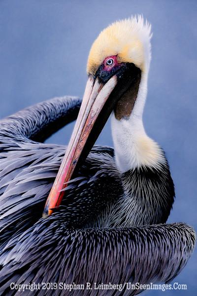 Pelican Preening - Copyright 2015 Steve Leimberg - UnSeenImages Com _H1R3487