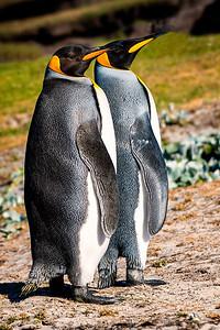Two King Penguins Copyright 2020 Steve Leimberg UnSeenImages Com _DSC1460