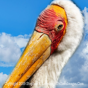 Red Headed Pelican  Copyright 2018 Steve Leimberg UnSeenImages Com  _A6I5056