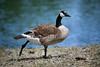 Canada Geese - Vasona Park (33) D