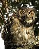 Baby Owl_- Copyright 2016 Steve Leimberg - UnSeenImages Com A6I6326