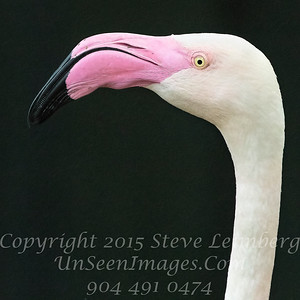 White Black and Pink - Jax Zoo - PAINTING - Copyright 2016 Steve Leimberg - UnSeenImages Com _A6I4519