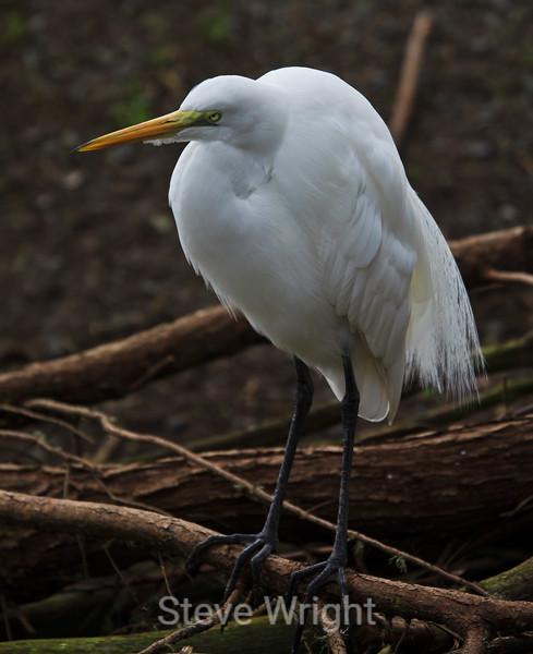 Great Egret - SF Zoo #5436