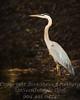 Heron - Copyright 2016 Steve Leimberg - UnSeenImages Com _Z2A4701