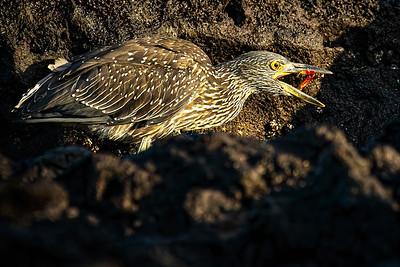 Lava Heron with Crab Copyright 2020 Steve Leimberg UnSeenImages Com _DSC0510