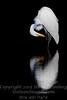 Great Egret Preening - Copyright 2016 Steve Leimberg - UnSeenImages Com _Z2A4068