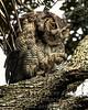 Baby Owl - Copyright 2016 Steve Leimberg - UnSeenImages Com _A6I6237