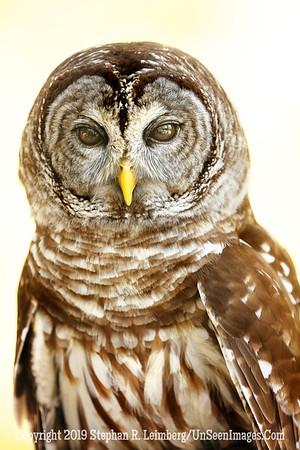 Bard Owl - Copyright 2018 Steve Leimberg UnSeenImages Com _Z2A2117