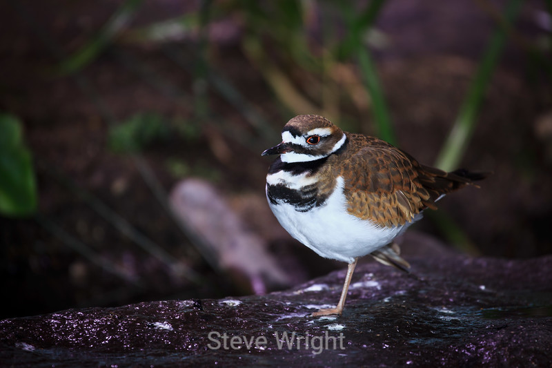 Killdeer #7063