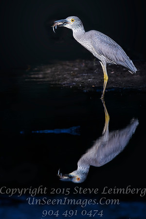 Heron with Crab - Copyright 2016 Steve Leimberg - UnSeenImages Com _A6I1950