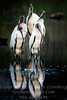 Woodstorks on Parade - Copyright 2016 Steve Leimberg - UnSeenImages Com _Z2A9675