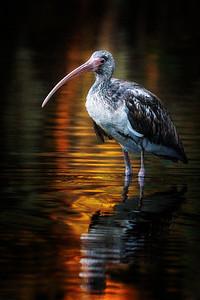 Ibis Golden Pond Copyright 2021 Steve Leimberg UnSeenImages Com _DSC7619- copy