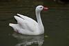 Snow Goose - SF Zoo #6316