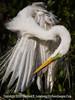 Great Egret Preening - Copyright 2015 Steve Leimberg - UnSeenImages Com _M1A1260