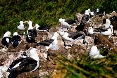 Albatross Dancing Cheek to Cheek Copyright 2020 Steve Leimberg UnSeenImages Com _DSC0839